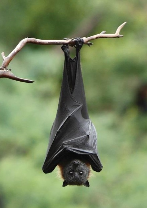 Australian Flying Fox Hands National Flying...